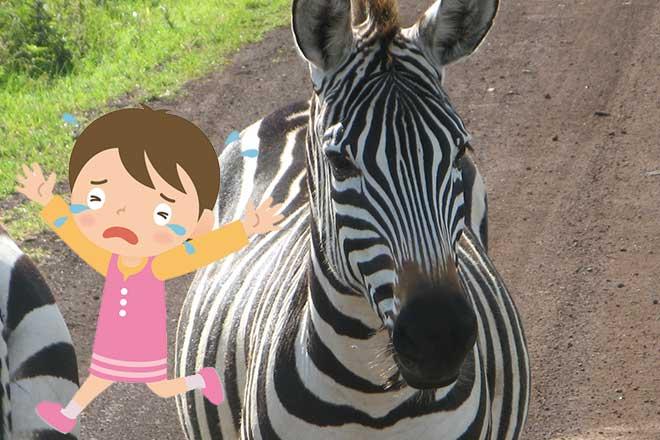 シマウマが逃げた!...(n4)<br>Zebra escaped